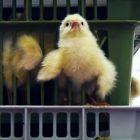 polli inchiesta italia