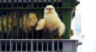 L'inferno dei viventi è già qui: l'inchiesta sul pollo italiano – Video