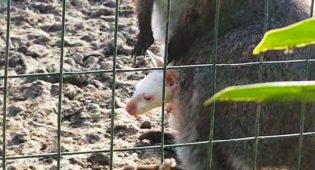 canguro-albino Grosseto