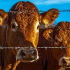 Rapporto fao carne consumo mondiale