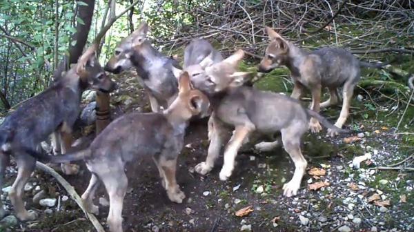 Cucciolata lupi Friuli