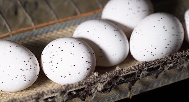 Uova ricoperte di acari rossi allevamento Mantova