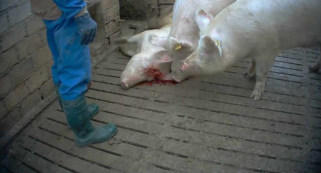 maiale ucciso a martellate allevamento italiano