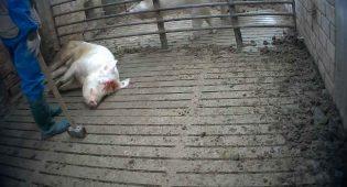 scrofa uccisa a martellate allevamento italiano