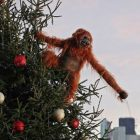 Orangutan meccanico olio di palma