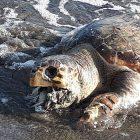 Tartaruga bocca plastica