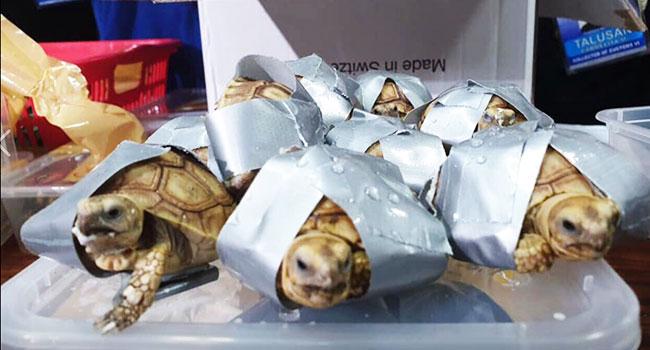 tartarughe-scotch-Filippine-valige