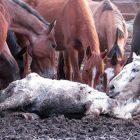 Carne di cavallo importata torture