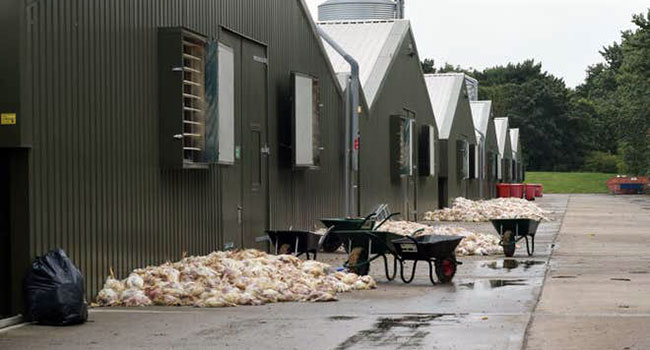 Polli morti Inghilterra caldo