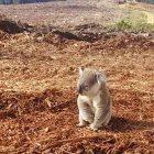Koala-confuso-deforestazione