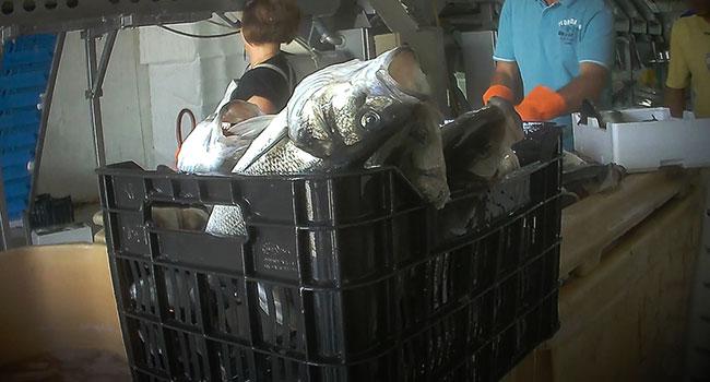 Pesci-grecia-allevamento