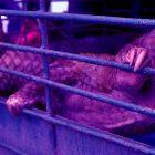 stop Commercio di carne selvatica Cina