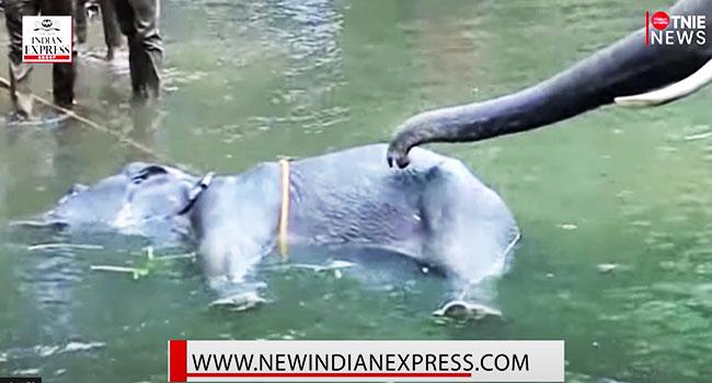 Elefante morre de um abacaxi cheio de fogos de artifício: ela estava grávida 1