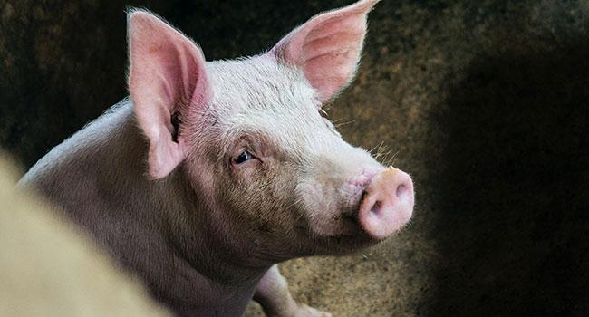 Existe um novo vírus pandêmico e vem de porcos em fazendas 3