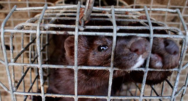 Mink fazendas possíveis novos surtos de coronavírus. Holanda mata os animais 8