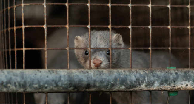 Mink fazendas possíveis novos surtos de coronavírus. Holanda mata os animais 1