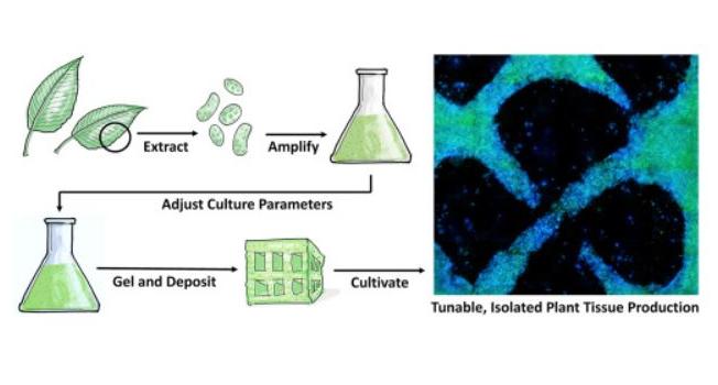 Il processo di crescita e le cellule prodotte