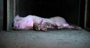 Un maiale abbandonato nell'allevamento di Brescia