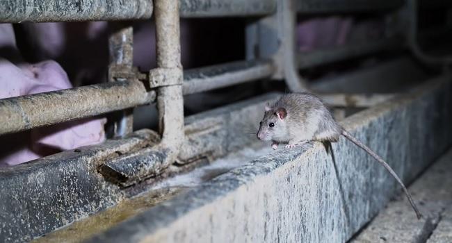 Un ratto vicino alla mangiatoia dei maiali nell'allevamento di Brescia.