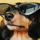 Cane con occhiali da sole